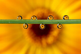 woda,krople,kwiat,żółty,makro