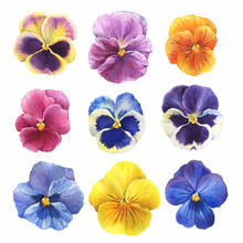 Set Of The Blue Garden Tricolor Pansy Flower (Viola Tricolor, Viola Arvensis, Heartsease, Violet, Kiss-me-quick) Hand Drawn Botanical Watercolor Painting Illustration Isolated On White Background