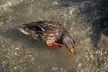 A Female Wild Mallard Duck Spl...