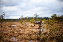 Small Twisted Pine Tree At A S...