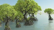 Red Mangroves On Florida Coast...