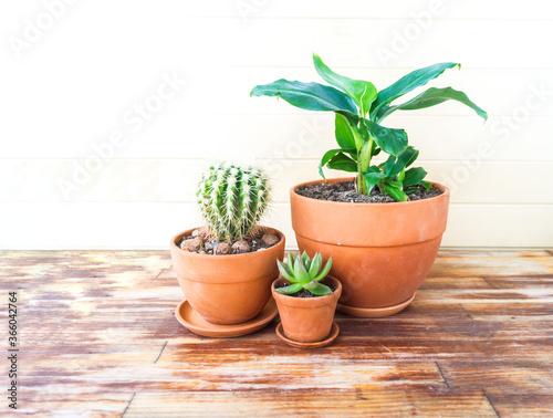 Fototapeta Succulent plant and banana palm in a terracotta pot. obraz
