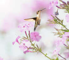 Ruby Throated Hummingbird In Motion.
