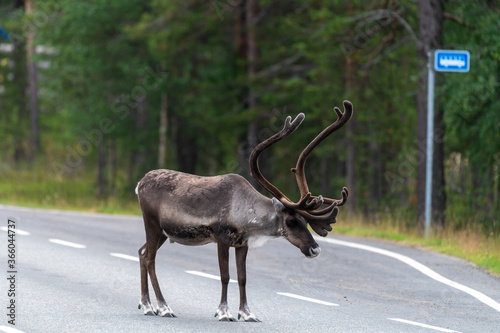 Photo Reindeers pasturing in the wild have been accustomed to people and human settlements