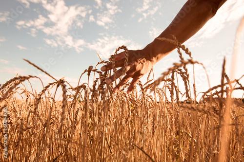Weizenfeld im Sommer Fototapet