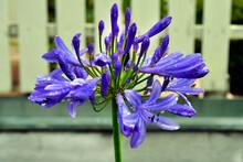Botany, Agapanthus