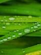canvas print picture Rain Drops on a Plant