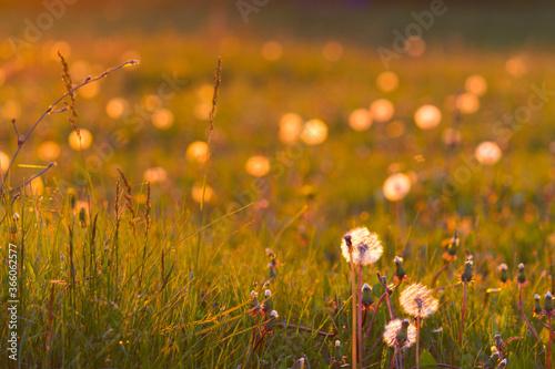 Fototapety, obrazy: Dangelion field background