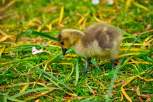 Canada Goose Goslings On Grass