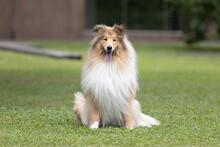 Collie Dog #05