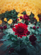 Close Up Of Red Chrysanthemums Buds Flowering In The Garden. Blooming Autumn Flowers Nature Background. Vertical Shot With Blossoming Crimson Color Chrysanths.