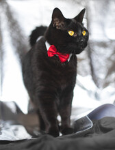 Black Cat With Beautiful Yellow Eyes Wearing A Red Bow Tie