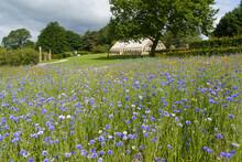 Large Flower Bed Full Of Cornflowers,Alpine House In The Background,RHS Garden,Harlow Carr,Harrogate,UK.