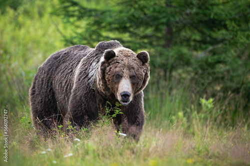 Fotografiet Brown bear, ursus arctos, standing on meadow in summertime nature