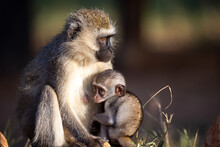 A Small Monkey Is Sitting With His Mother In The Grass