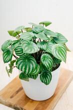 Indoor Plant, Peperomia Waterm...