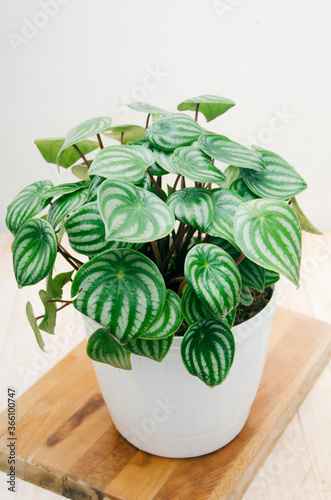 Leinwand Poster Indoor plant, Peperomia Watermelon plant in a pot