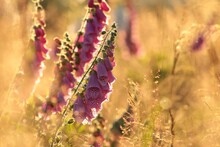 Purple Foxglove (Digitalis Pur...