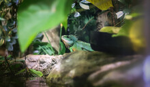 Green Iguana Sitting On Rocks ...