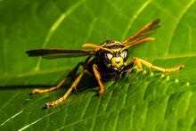 Close-up Of Common Yellowjacket (Vespula Vulgaris)