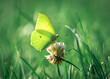 żółty motyl cytrynek na kwiatku koniczyny polnej