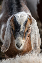 Portrait Of A Domesticated Goat (Capra Aegagrus Hircus)