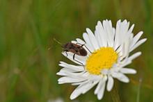 Beetle On A Daisy Flower In The Garden