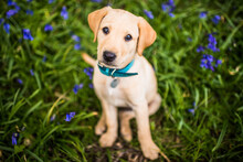 Golden Labrador Puppy With Blue Collar Sitting In The Bluebells