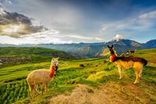 Llamas, Moray, Peru