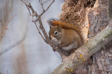 Red Squirrel (Tamiasciurus Hud...