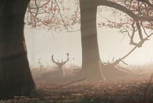 A Fallow Deer Stag (Dama Dama)...