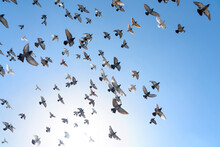 Flock Of Rock Doves (rock Pige...