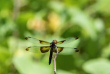 Widow Skimmer Dragonfly On Twig With Wings Spread Wide