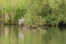 Grey Heron, Ardea Cinerea Perched On A Tree On A Lake