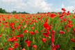 Colorful field of red poppies and wildflowers.
