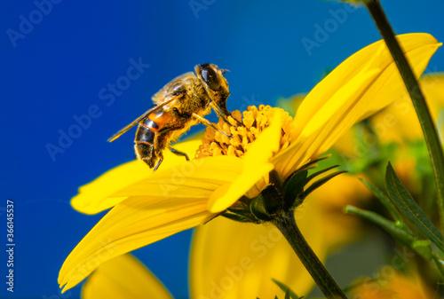 ape che si nutre su un fiore giallo con uno sfondo blu Wallpaper Mural