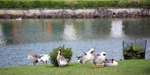 Cold Geese, Swans Or Ducks Beside The Pond.