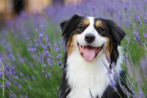 Happy aussie dog against blooming lavender bush Wallpaper Mural