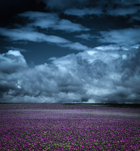 Storm Clouds Over Vast Purple Poppy Field