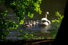 Germany, Saxony, Adult Swan Swimming In Lake With Cygnets