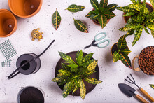 Gardening Claw And Fork, Scissors, Plastic Frog, Watering Can And Potted Fire Crotons (Codiaeum Variegatum)