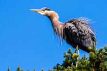 Great Blue Heron Ruffling Feat...