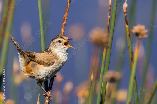 Marsh Wren Singing on a Sunny Day Fototapeta