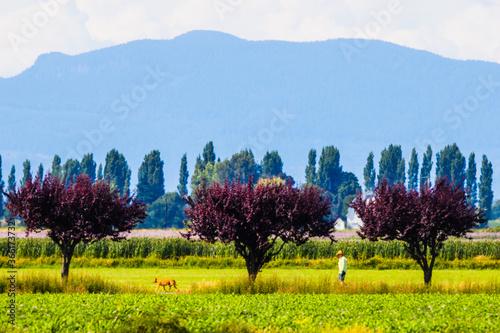 Fotografering Man Walking Dog Past Row of Purple Leaved Plum Trees in Skagit Valley Farmland