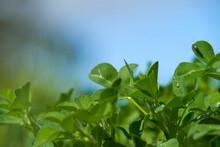 Close Up Beautiful Nature View Green Leaf On Blurred Greenery Background Under Sunlight With Bokeh And Copy Space Using As Background Natural Plants Landscape, Ecology Cover Concept