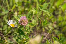 Chamomile And Clover In The Field. Flowering Plants In A Green Meadow.