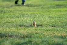 A Small Wild Gopher Has Dug A Hole On An Amateur Football Field And Is Looking Around