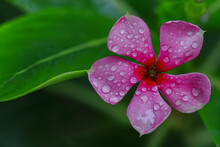 A Pink Periwinkle Flower With Water Droplets On It And Green Leaves In Background