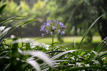 Agapanthus Praecox, Blue Lily Flower During Tropical Rain, Close Up. African Lily Or Lily Of The Nile Is Popular Garden Plant In Amaryllidaceae Family. Tanzania, Africa