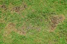 Green And Yellow Grass Texture Brown Patch Is Caused By The Destruction Of Fungus Rhizoctonia Solani Grass Leaf Change From Green To Dead Brown In A Circle Lawn Texture Background Dead Dry Grass.